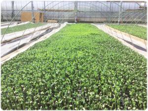 枝豆の育て方・栽培方法