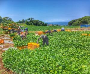 枝豆収穫作業