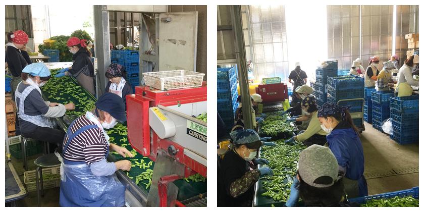 枝豆の検品、品質チェックを行います。