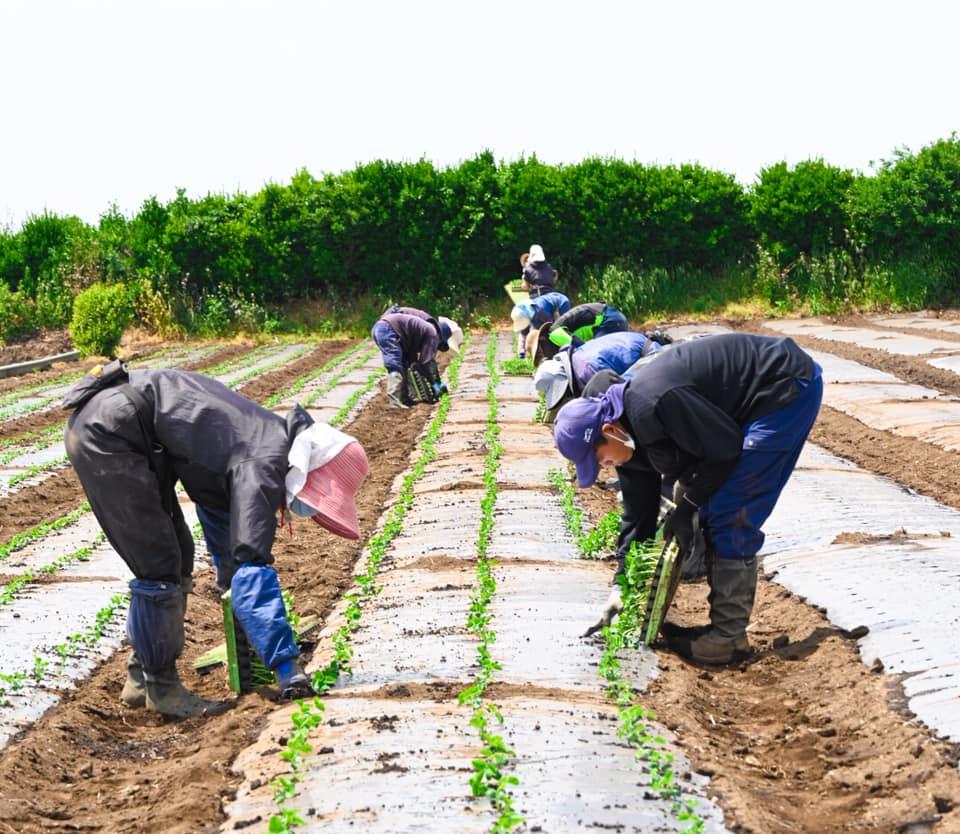 枝豆の移植作業