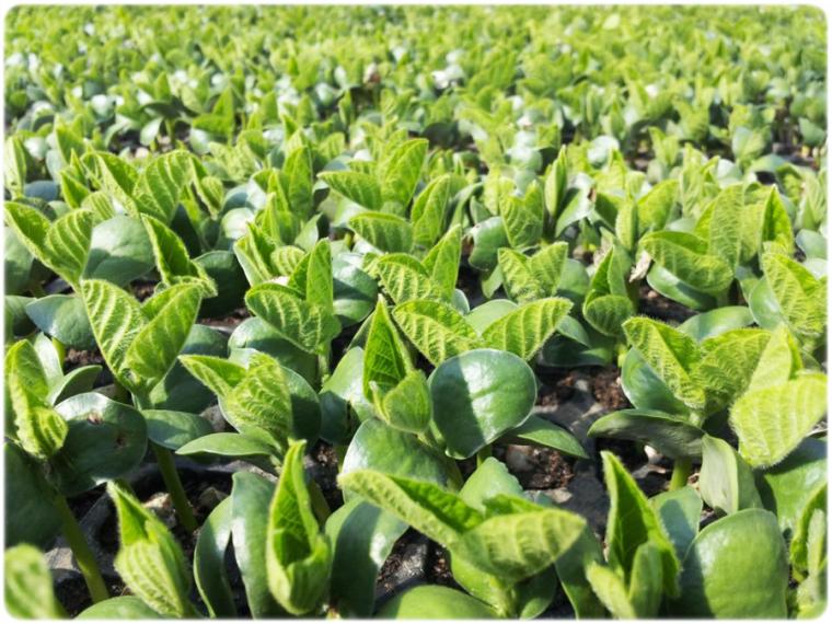 枝豆の栽培方法・育て方
