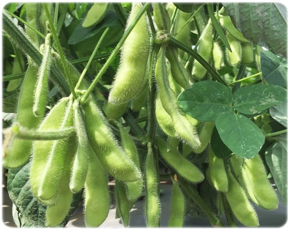 岩崎ファームで作るはねっ娘会の枝豆は、茶豆由来の白毛豆です。