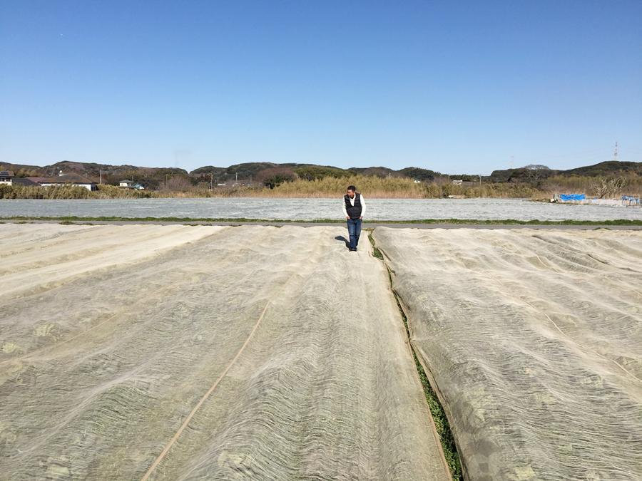 千葉県富津のキャベツ畑