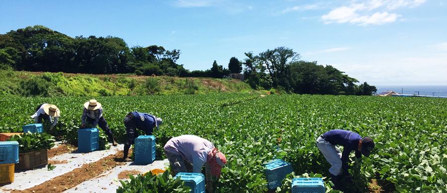 神奈川県三浦半島の枝豆畑