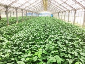 ハウス栽培の枝豆