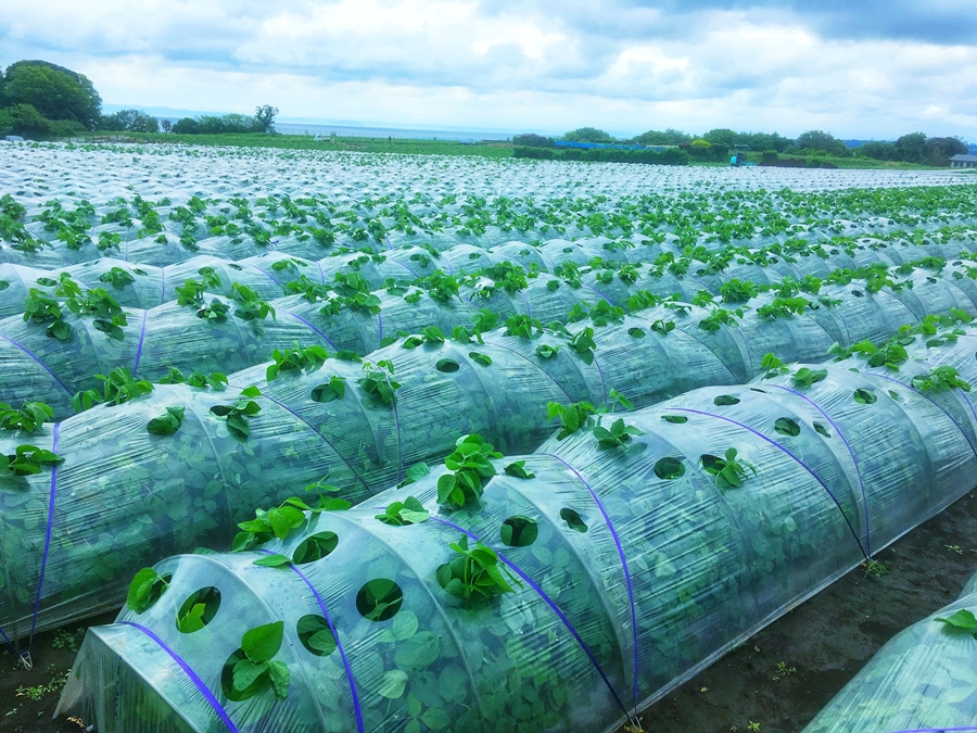 トンネル栽培の枝豆