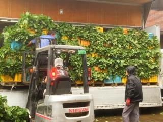 雨の中、枝豆収穫。