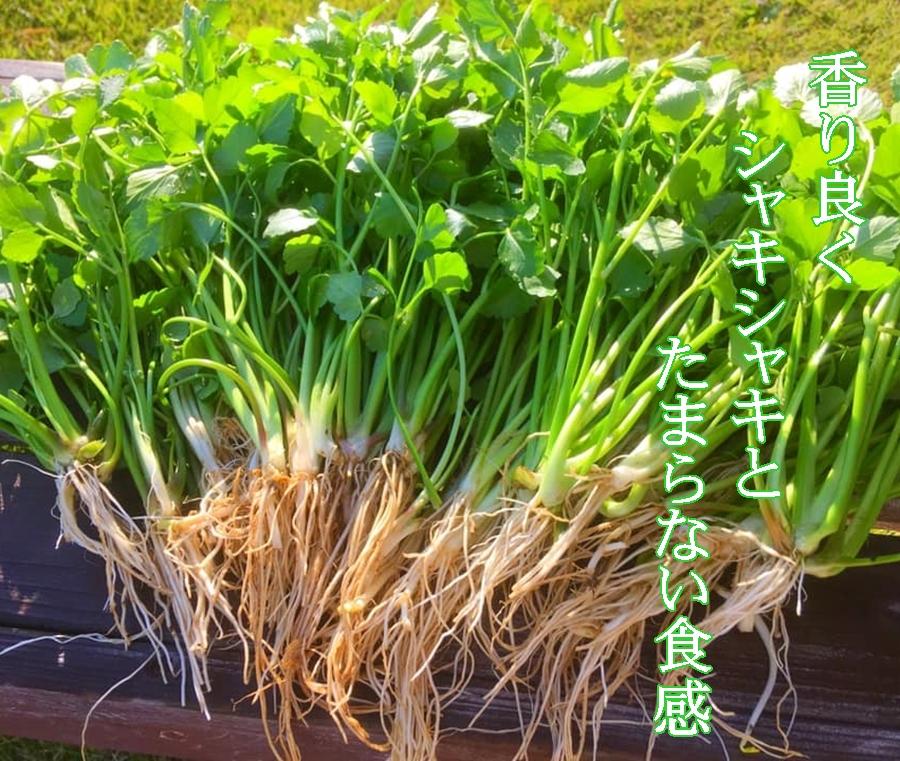 三浦七草会のセリ