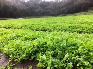 三浦七草会のせり畑