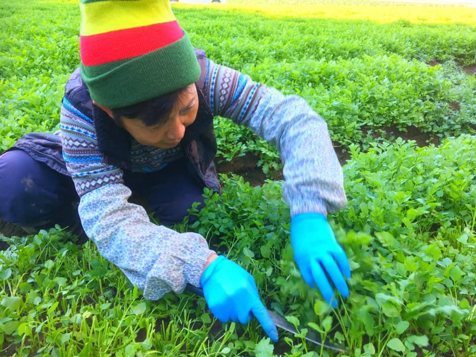 せりの収穫作業