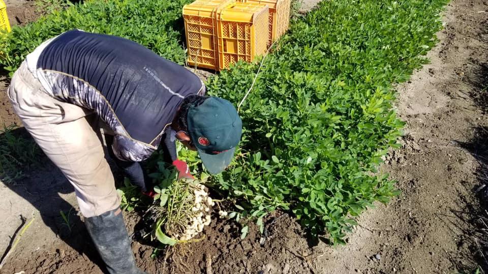 おおまさりの収穫作業
