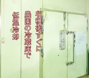 農園の冷蔵庫でおおまさりを保冷管理(コールドチェーン)
