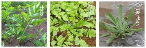 春の七草の種類(せり・なずな・ごぎょう)