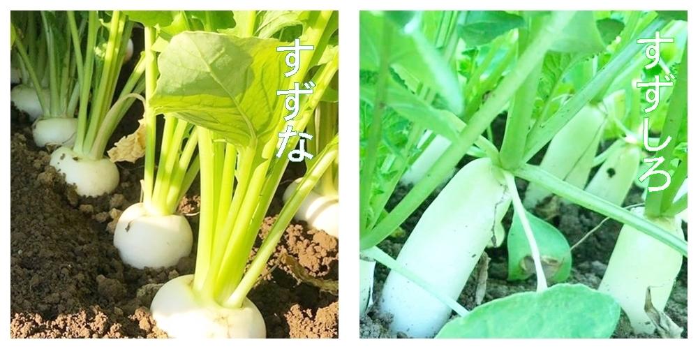 春の七草の種類(すずな・すずしろ)