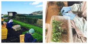春の七草収穫作業