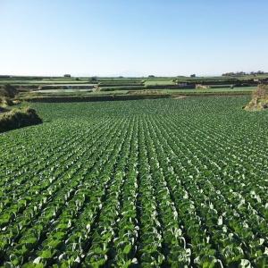 三浦半島のキャベツ畑