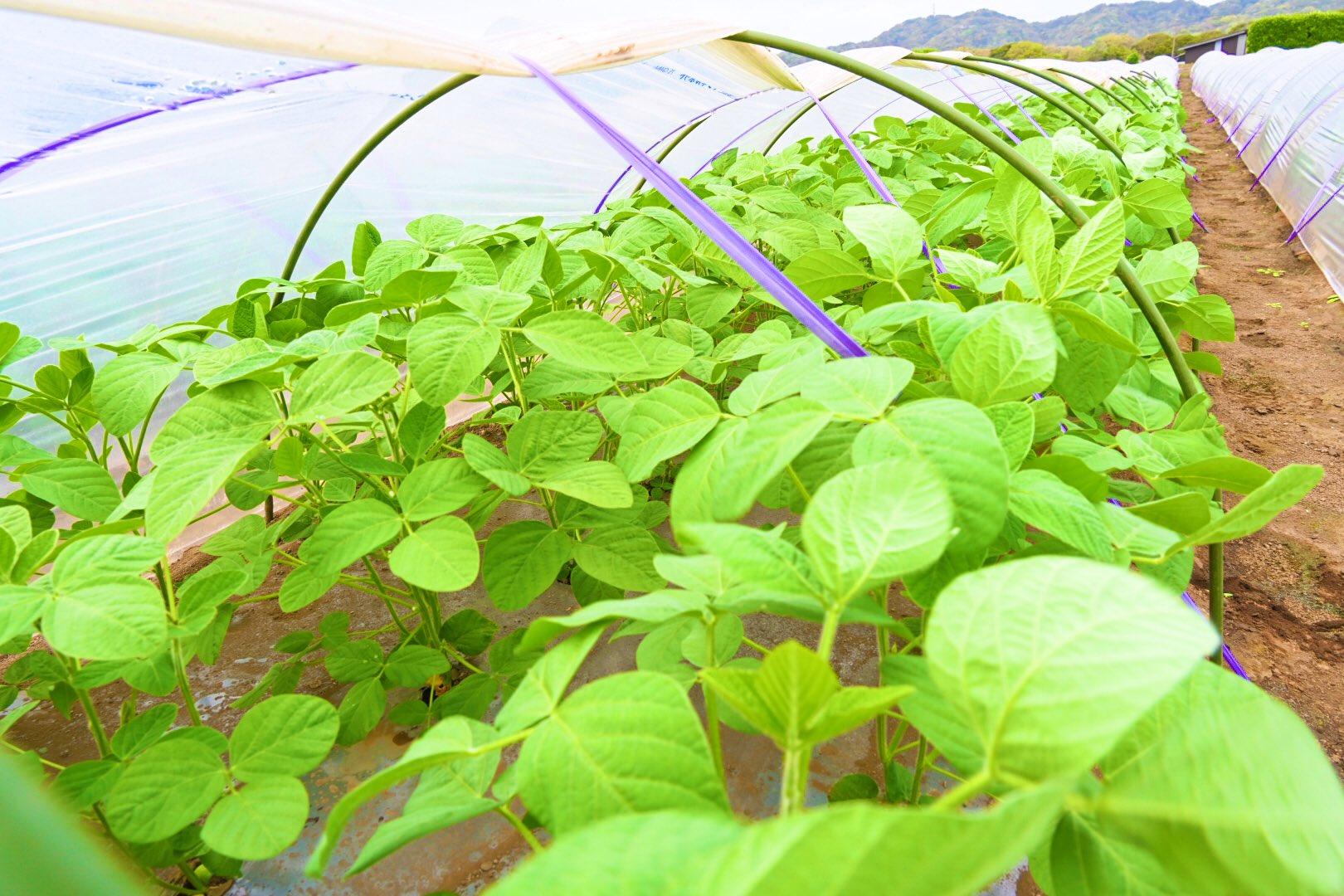 成長する枝豆