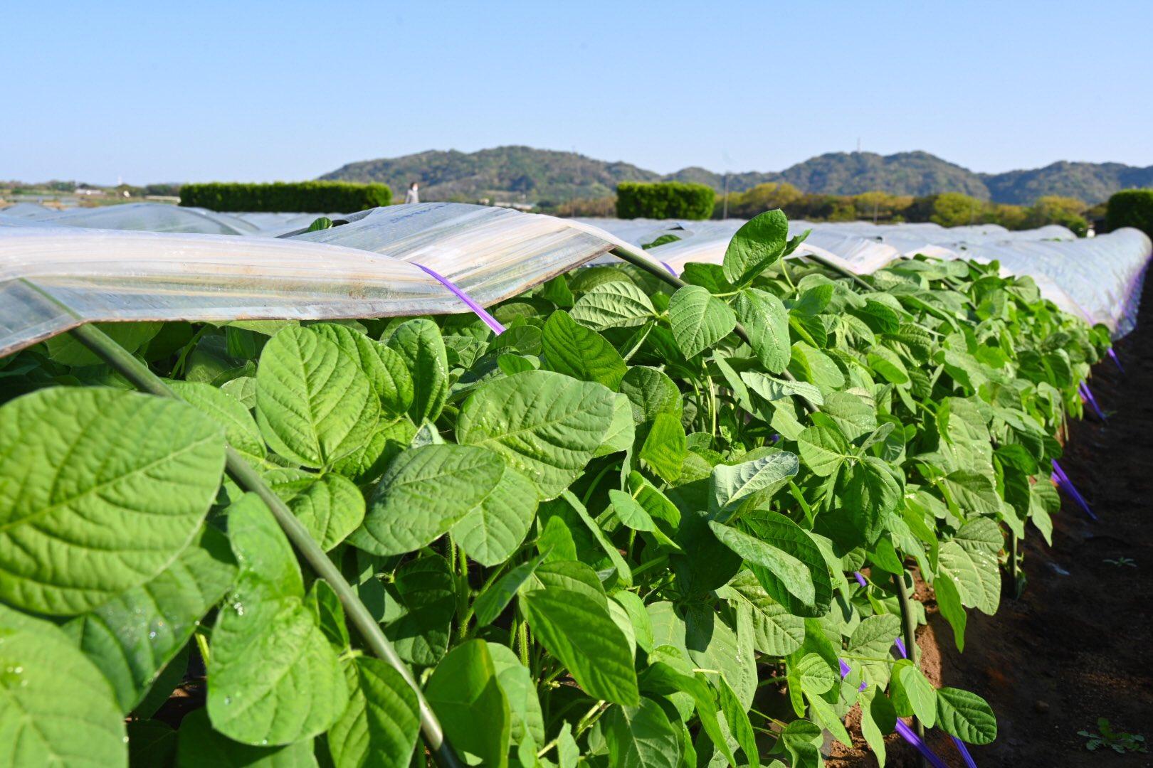トンネル枝豆の成長
