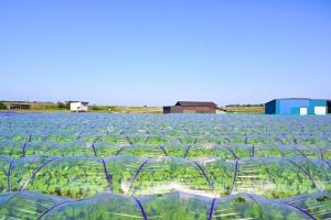 枝豆促成栽培