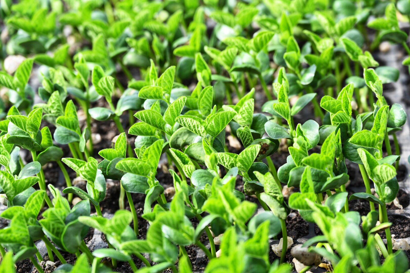 枝豆セルトレイ苗