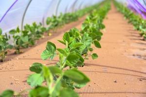 植え付け後の枝豆