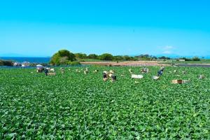 三浦半島産本春キャベツ収穫風景