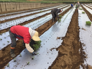 枝豆手植え作業